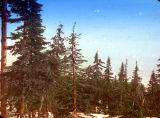 Abies amabilis - Grouse Mountain